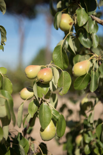 Close-Up Of Pears Growing At Farm During Sunny Day