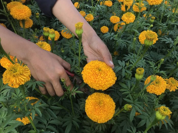 High angle view of person hand on yellow flowering plants