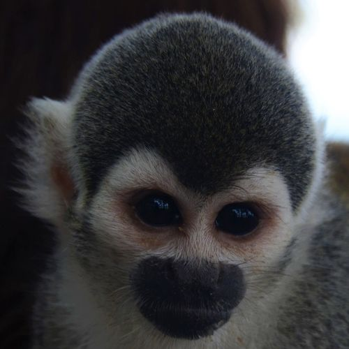 Tropical Animal Tropics Amazonas Turismo Ecologico Close-up Monkey Face Monkey Nature Colombia Cute Rainforest Squirrel Monkey Saimiri Sciureus