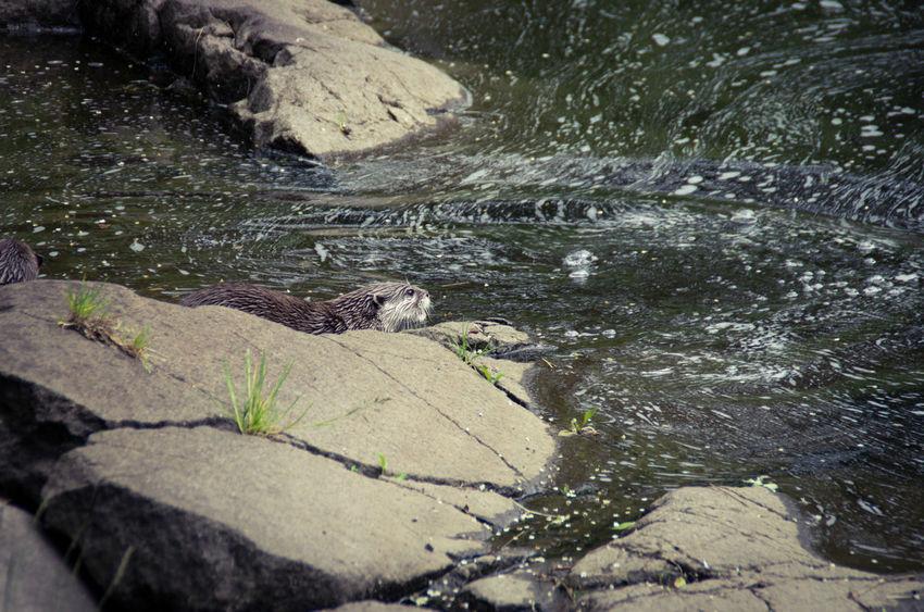 Animal Family Animals Day Edinburgh Edinburgh Zoo Frolicking Nature No People Otter Outdoors Play Scotland Splashing Water Waterfall Wildlife Zoo