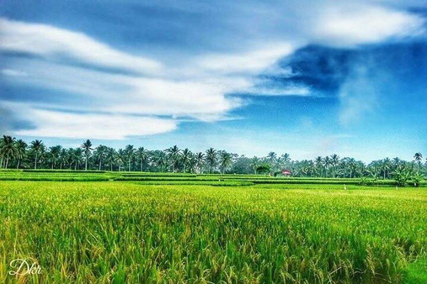 Amazing Scape Landscape Tabanan Terasering Ricefield Paddy Green Bali Balicili Pixelpanda PhonePhotography Photograph Mobilephotography Kamerahpgw Kamerahpgw_bali Matalensa Mataponsel Mataponsel_bali Picture Instagram Igers Igersbali