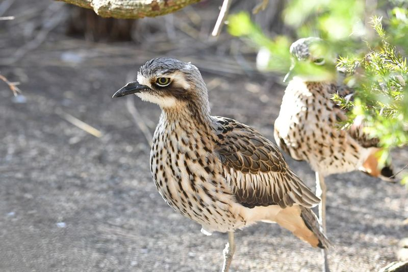 Stone Curlew Bird Animal Themes Animal Vertebrate Animal Wildlife Animals In The Wild Focus On Foreground Side View Beak Field Outdoors Land Sunlight Day Nature No People