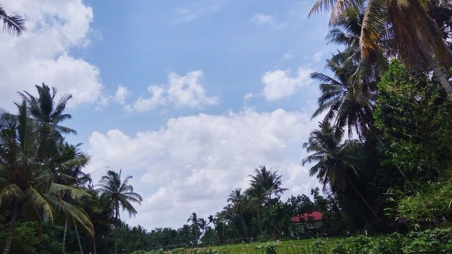 Tree Pinaceae