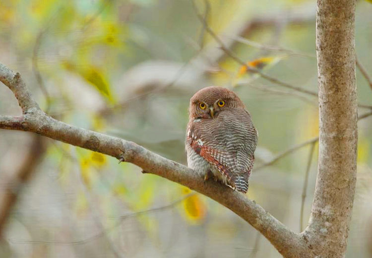 Animal Themes Animal Wildlife Animals In The Wild Bird Branch Close-up Day Nature No People One Animal Outdoors Owl Perching Tree