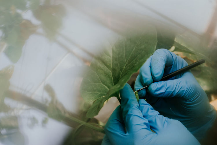 Cropped hands of scientist wearing protective gloves while holding plant