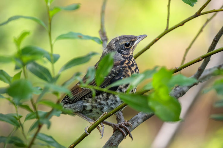 Young fieldfare