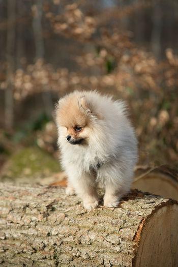 Pomeranian, spitz