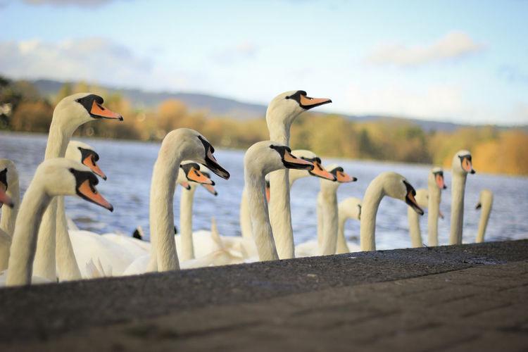 Mute swans at lakeshore against sky