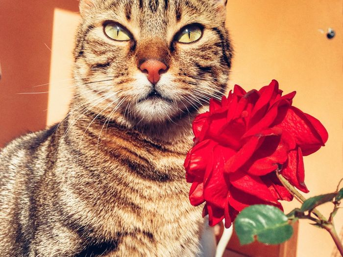 Domestic Cat Pets One Animal Flower Feline Animal Themes Domestic Animals Mammal Indoors  Portrait No People Whisker Looking At Camera Red Nature Close-up Beauty In Nature Day Rose - Flower Rosé