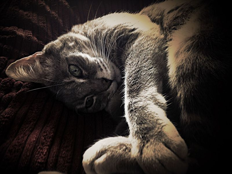Cat Cats Bengal Cat Burmese Cat Pets