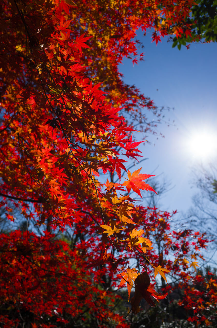 autumn, leaf, change, tree, maple leaf, nature, maple tree, beauty in nature, maple, leaves, orange color, growth, outdoors, scenics, no people, tranquility, low angle view, branch, day, close-up, sky