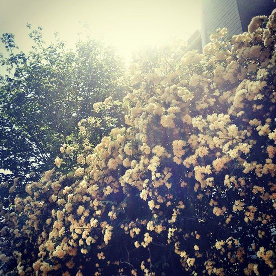 Banksiarose Flower