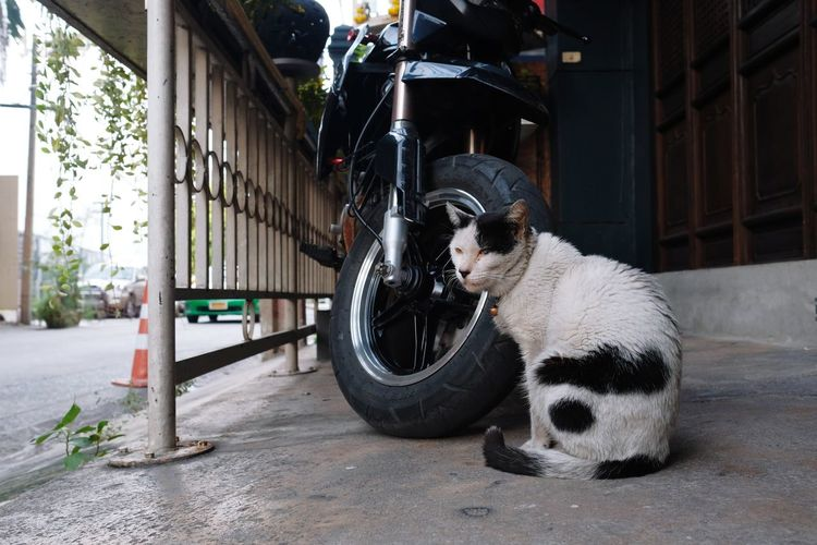 motorbike protector City Street Architecture Building Exterior Built Structure Domestic Animals Cat Pets Kitten Pet Bed Whisker Feline Pet Collar