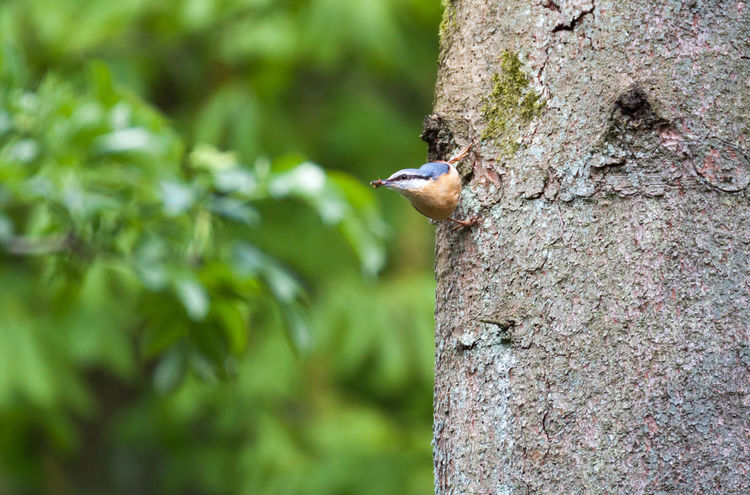 Animal Themes Animal Wildlife Animals In The Wild Bird Close-up Eurasian Nuthatch Eyem Nature Lovers  Focus On Foreground Forage Green Color Nature Nuthatch One Animal Perching Sitta Europaea Summertime Tree Treetrunk Wood Nuthatch