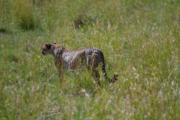 Cheetah in tall grass