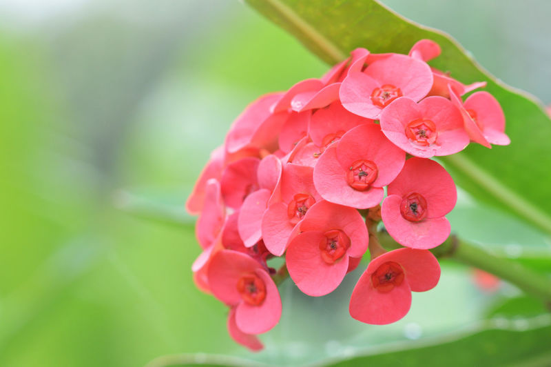 Background Beautiful Beauty Bloom Blossom Bright Christ Close Closeup Color Colorful Crown Decoration Decorative Euphorbia Flora Floral Flower Fresh Garden Green Growth Holiday Houseplant Isolated Leaf Macro Milia Milii Milli Natural Nature Petal Pink Plant Prickly Rain Red Small Spiny Spring Succulent Summer Thorn Thorns Tree Up White Yellow
