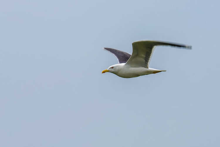 Yellow-legged gull in flight with motion blurred wings Animal Animal Wing Bird Day Flying Gull Mid-air Motion Motion Blur Need For Speed No People Outdoors Seagull Sky Spread Wings Wildlife Wings Yellow Legged Gull