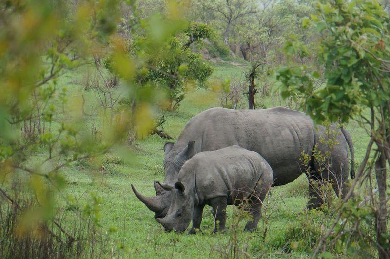 Rhinoceroses in forest