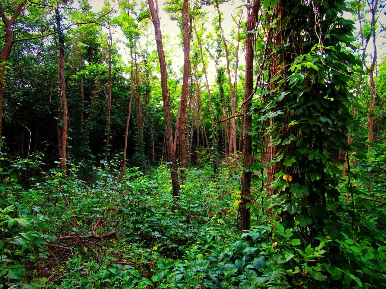forest, tree, nature, growth, tranquility, lush foliage, woodland, day, beauty in nature, plant, no people, outdoors, scenics, tree area