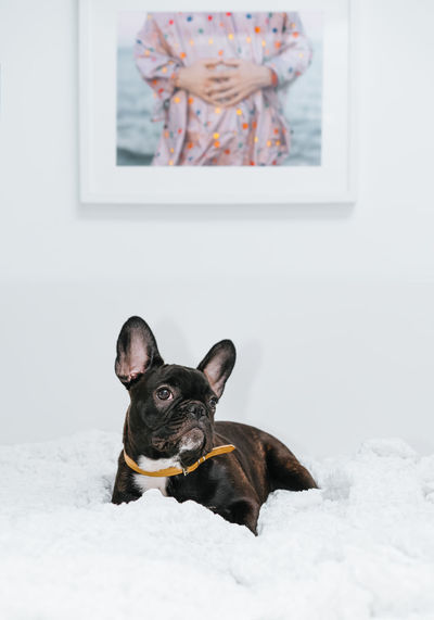 Frenchie Frenchbulldog Pets Portrait Dog Looking At Camera Cute Close-up French Bulldog Pet Leash Bulldog Canine Puppy Purebred Dog Pampered Pets