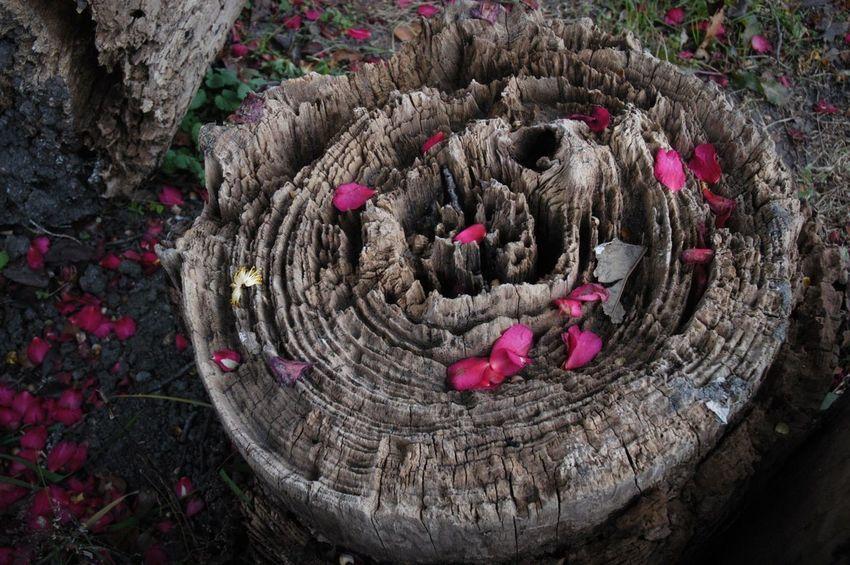 年輪。 Circle High Angle View Nature Beauty In Nature Fragility 年輪 Growth Rings