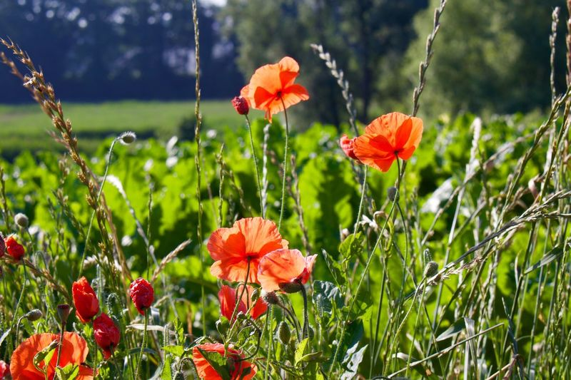 Close-up of poppy flowers growing on field