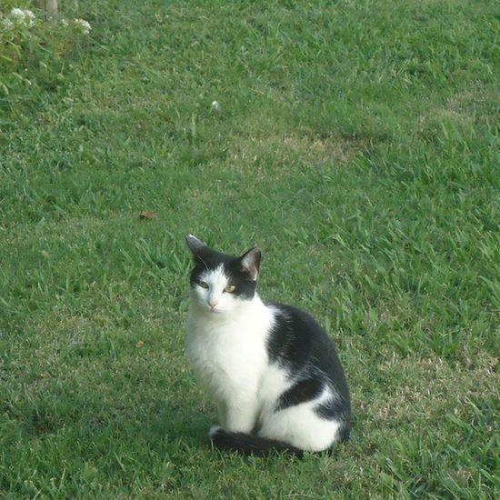 Cat Catsofinstagram Blackandwhitecat Catsingrass Parquecervantes Parque  Park Puisto Gato Gatoblancoynegro Gatoenlahierba Kissa Mustavalkoinenkissa Barcelona
