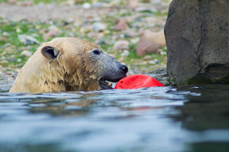 Animal Animal Themes Mammal Animals In The Wild Animal Wildlife Eating One Animal Bear Day Animal Body Part Water Animals Hunting Hunting Food Selective Focus Nature Outdoors Survival No People Animal Head  Surface Level
