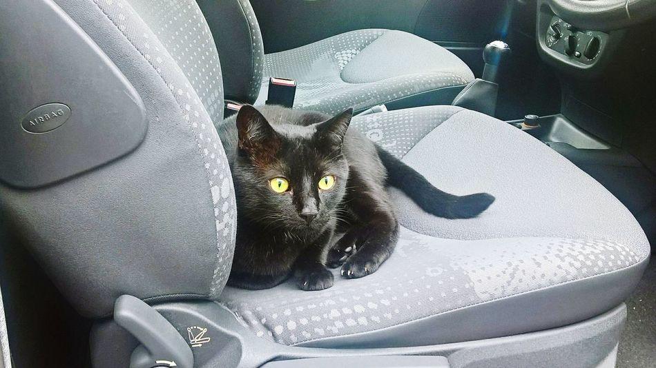 Cat Cat Cat Cats Cat♡ Cats 🐱 Animal Themes Domestic Cat Black Cat Black Cats Pets One Animal No People Domestic Animals Vehicle Seat Car Interior Car CarFree