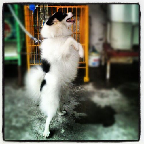 Coby ;-) Franxhiz Japanesespitz Dog