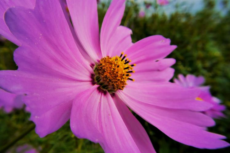 Close-up of insect on pink daisy flower