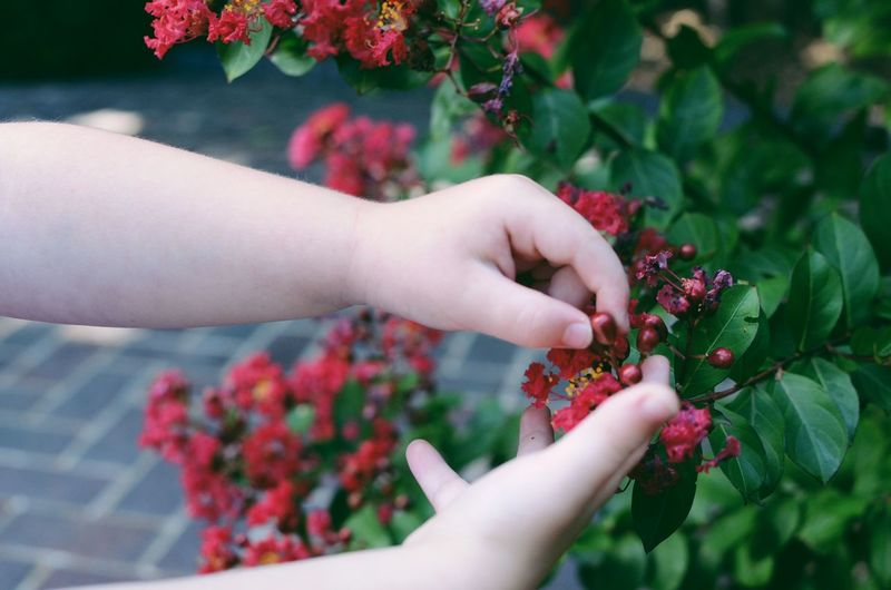 Childs hands picking red flowers