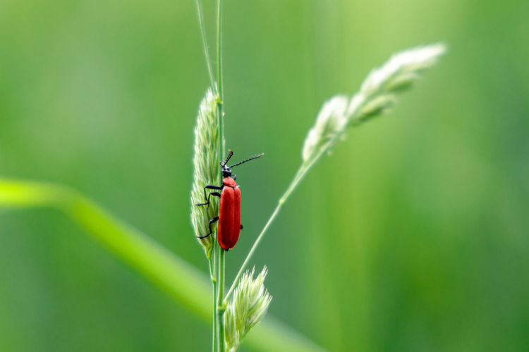 Red cardinal beetle sitting and climbing up to a gras straw in the summer. use image as postcard