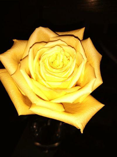 Beautiful yellow rose. Flower, nature