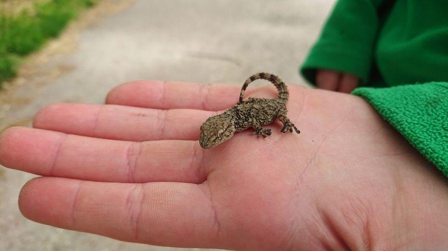 Wall Gecko