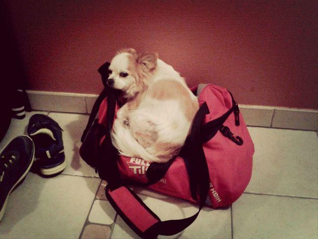 Cute Dog Chiuaua my cutie Dina ♥