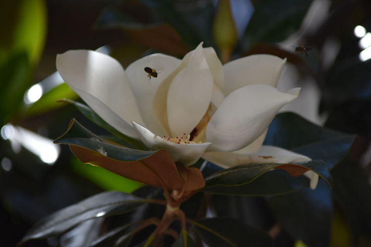 Magnolia's pollination Selective Focus Bee Magnolia Pollination Polen Flowering Plant Flower Plant Petal Beauty In Nature Freshness Fragility Vulnerability  Flower Head Close-up Inflorescence