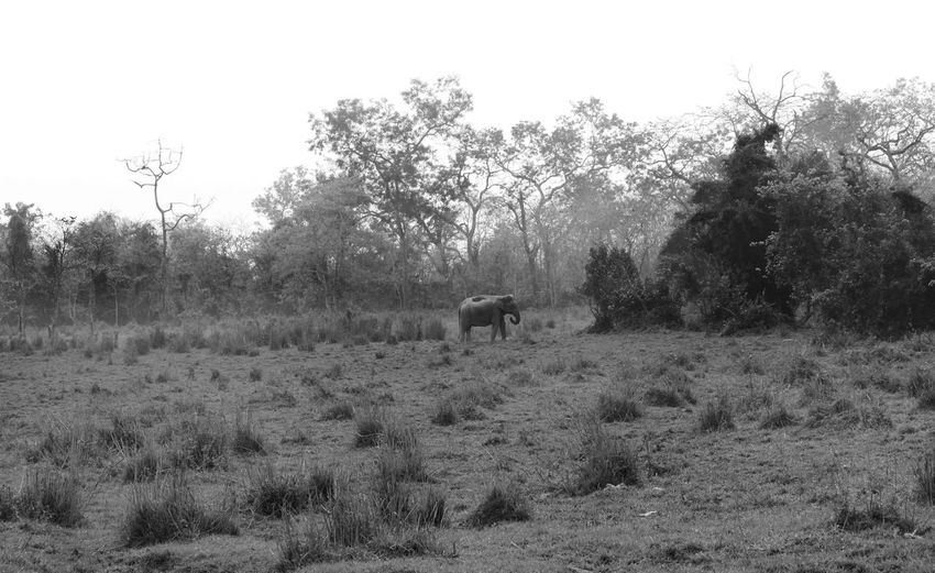 Wild Landscpae Animal Animal Themes Animals Animals In The Wild BlackAnd White Countryside Elephant EyeEm EyeEm Best Shots EyeEm Gallery EyeEm Nature Lover First Eyeem Photo Food Grass Grazing Herbivorous Indian Jungle Mammal Monochrome Outdoors Wildlife Wildlife Wildlife & Nature Wildlife Photography
