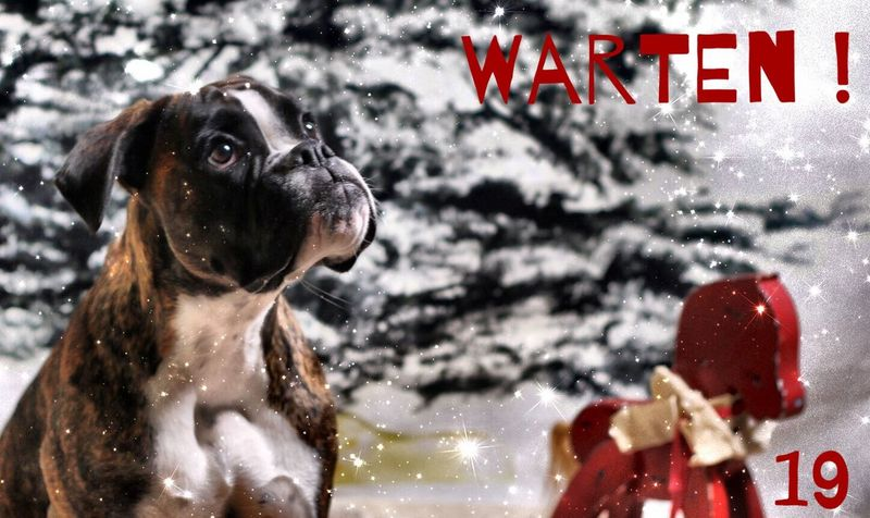 Türchen 19 Juno's Adventskalender Juno's World For My Friends That Connect Christmastime Boxer Hello World Dog