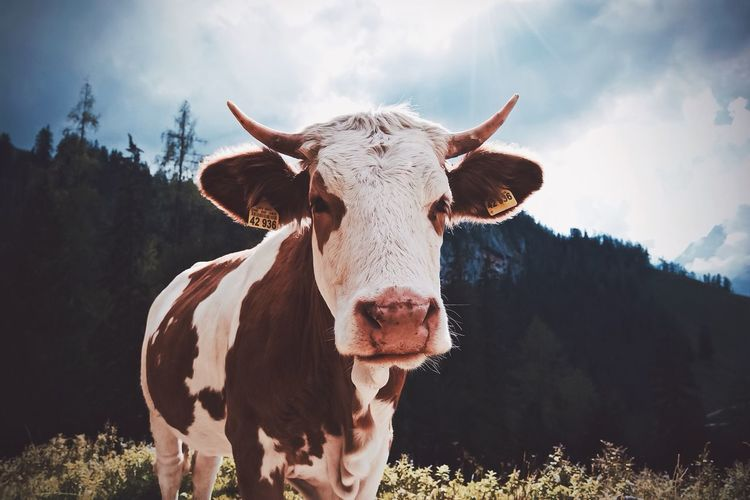 Portrait of cow on field against sky