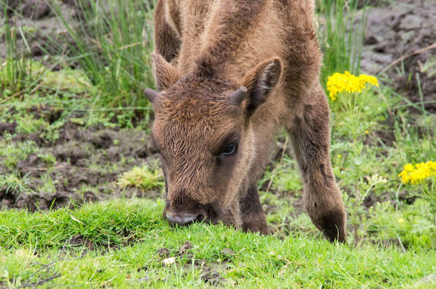 The Highland Wildlife Park on a rainy day. Bison Rain Scotland American Bison Animal Themes Animals Animals In The Wild Brown Calf Close-up Cute Field Grass Green Color Highland Wildlife Park Mammal Nature No People One Animal Scottish Highlands Wildlife