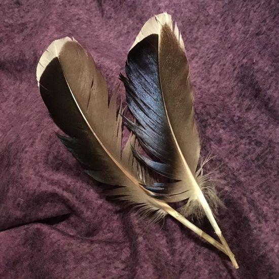 Feathers Duck Duck Feather Mallard Specimen Oddities Curiosities For My Collection Magick Witchy No Filter