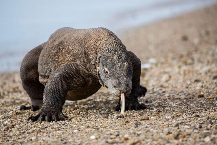 Komodo Dragon Animals In The Wild Focus On Foreground Komodo National Park
