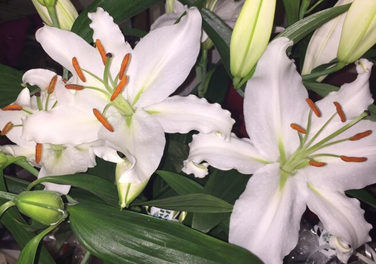 Flower Petal Leaf Growth Freshness Beauty In Nature Nature No People Plant Fragility Flower Head Close-up Day Outdoors Lily Lily Flower Lilien лилии Wite Witeflower Weiss Weiße Blüten белый белые цветы Aroma