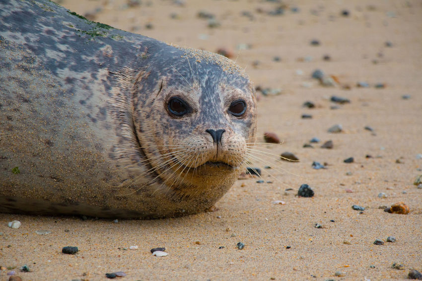 Seal face Animal Animal Head  Animal Themes Animal Wildlife Animals In The Wild Beach Day Land Looking At Camera Mammal Marine Nature No People One Animal Outdoors Portrait Relaxation Sand Sea Seal - Animal Underwater Vertebrate Whisker