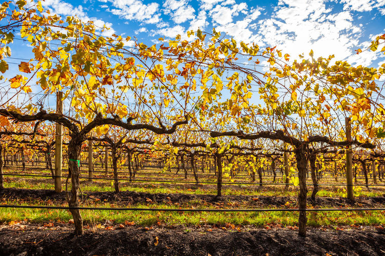 Grape vines with yellow leafs in autumn - closeup Farm Fruit In A Row Landscape Meadow No People Red Hill Rural Scene Sky Sunlight Tuerong Vineyard Yabby Lake Agriculture Australia Autumn Beauty Clouds Country Fall Field Glow Grapes Grass Green Growing Melbourne Mornington Nature Outdoors Peninsula Rows Of Vines Scenic Shīrāz Stunning Sunny Tourism Travel Tree Victoria Vines Viticulture Wine Winery