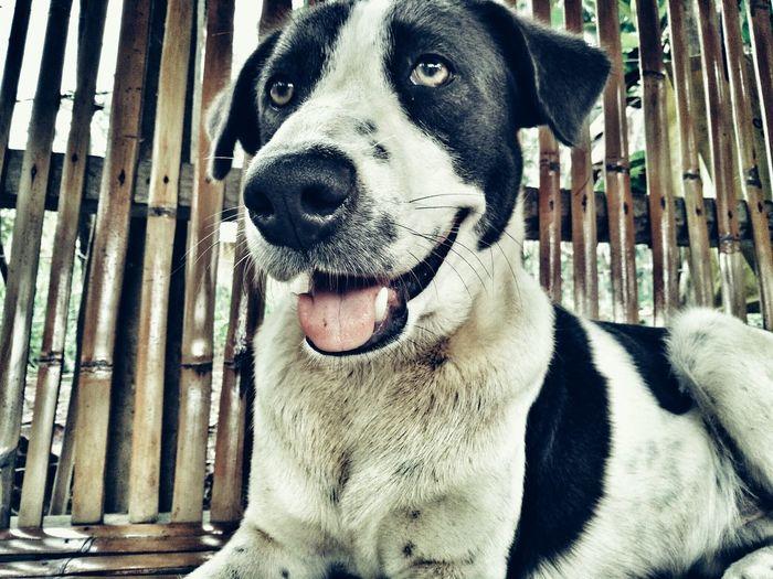 Pet Animals Animal Dog Dog Love Dog Lover Philippines Xander Blackandwhite Cute
