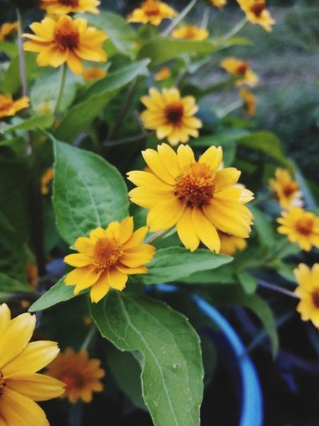 Flower Head Flower Leaf Yellow Petal Multi Colored Close-up Plant Green Color Blooming