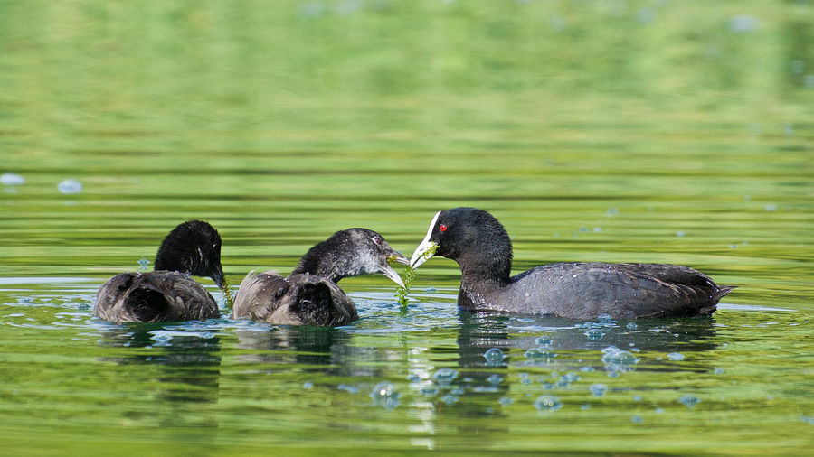 Scaup feeds her