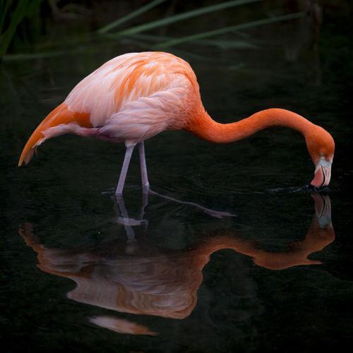 Flamingo foraging in lake